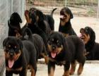 广东中山犬舍----猛犬罗威纳 不挑食 货到付款