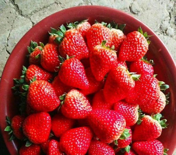 草莓采摘,批发零售