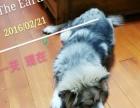 挥泪低价转让爱犬——纯种阿拉斯加雪橇犬!!!