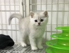 猫舍繁殖精品高品质银渐层热卖中欢迎选购!
