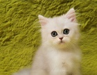 今天下单包邮 纯种宠物猫活体 金吉拉猫长毛银渐层