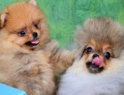棕色博美犬,黄色博美犬幼犬出售,下面有狗妈妈的图片