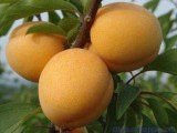 早熟杏树苗,晚熟杏树苗,珍珠油杏苗,临沂杏树苗