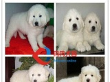 正规狗场繁殖、二十四小时送货、种公借配、纯种大白熊