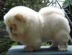 8年的信誉保证--松狮犬出售 以信誉做市场以狗会友