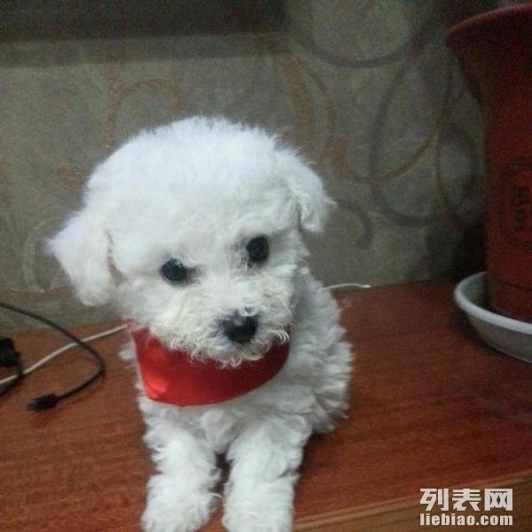 出售自家小狗崽,一只白色比熊小妹妹,可爱萌