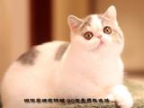 繁育級加菲貓DDMM-帶繁育權證書包純包健康