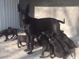 纯种墨界黑狼 自家养殖 包健康 品相一流 可签协议