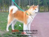 专业赛级秋田哪里卖丨忠犬八公多少钱丨秋田犬舍哪里有