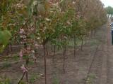 出售果树李子树葡萄树