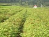 刺嫩芽苗 刺嫩芽小苗 刺嫩芽基地 刺嫩芽苗价格