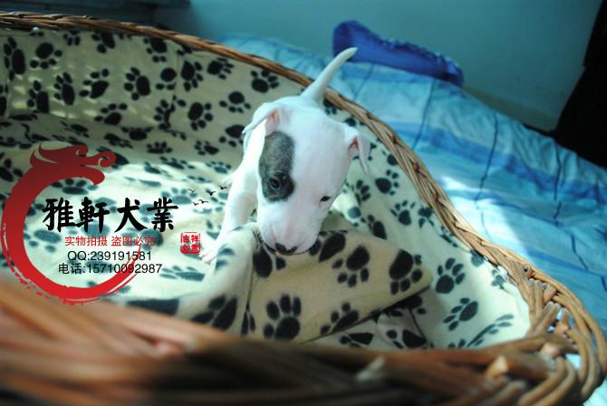 北京哪里出售纯种纯白牛头梗海盗眼牛头梗 质保180天