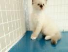 自家繁殖的布偶猫咪