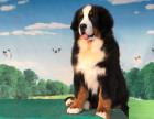 伯恩山犬价格,伯恩山犬多少钱,伯恩山犬图片