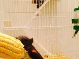 魔王幼崽合格鼠。