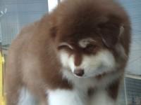 成都出售純種阿拉斯加幼犬雪橇犬阿拉斯加熊版巨型包健康包純種