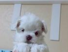 出售马尔济斯幼犬。