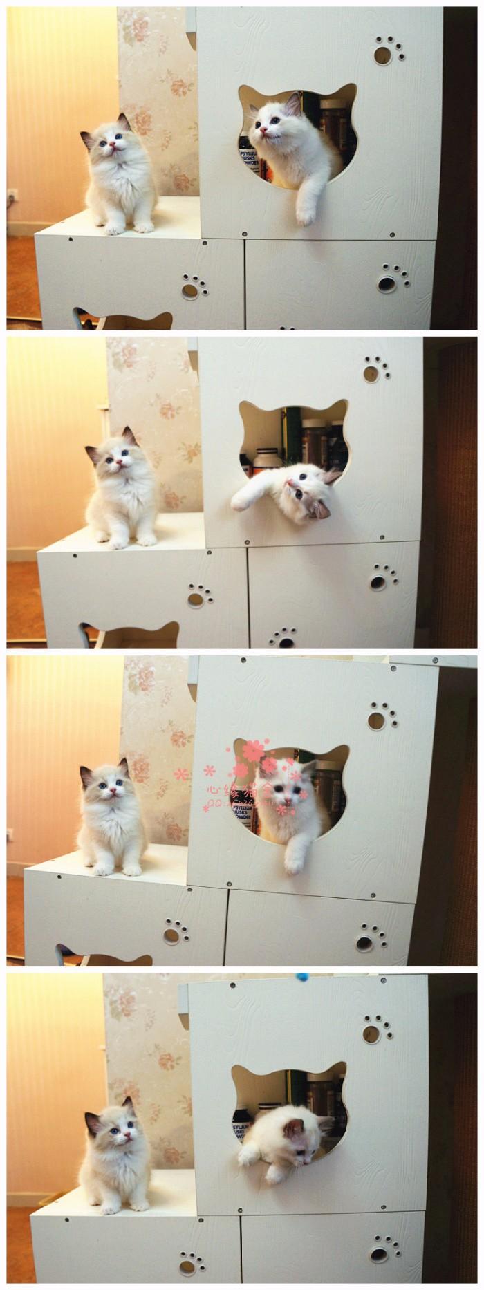 布偶猫济南哪里有卖的 布偶猫价格 布偶猫多少钱