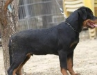 自家大狗生的一窝罗威纳可以来家里看大狗品相