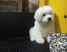 纯种大白熊价格 纯种大白熊多少钱