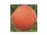 果树修剪|哪里能买到品种好的桃树苗