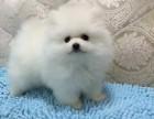 博美幼犬 常年出售 可签协议 价格合理 选择多