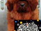 专业繁殖纯种藏獒幼犬,品相好购买有保障