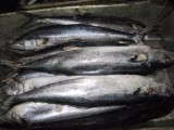 保定带鱼批发,保定鲅鱼批发,保定海鲜水产批发