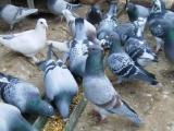 哪里有卖肉鸽子落地王鸽白羽王鸽