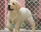 正规犬舍繁殖纯种拉布拉多奶油咖啡色黑色公母均有包活