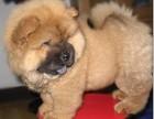 石家庄出售包健康纯种 松狮犬幼犬 当面检测犬瘟细小