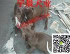 一对两个月的比特犬幼犬多少钱小比特犬的价格图片