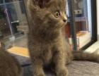 出售英国短毛蓝猫一只
