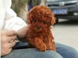 扬州哪有泰迪犬卖 扬州泰迪犬价格 扬州泰迪犬多少钱