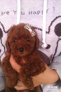 宁波哪里有泰迪犬卖 宁波哪里出售纯种泰迪犬多少钱