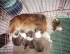 西安那里有喜乐蒂犬卖 西安喜乐蒂犬价格 西安喜乐蒂犬多少钱