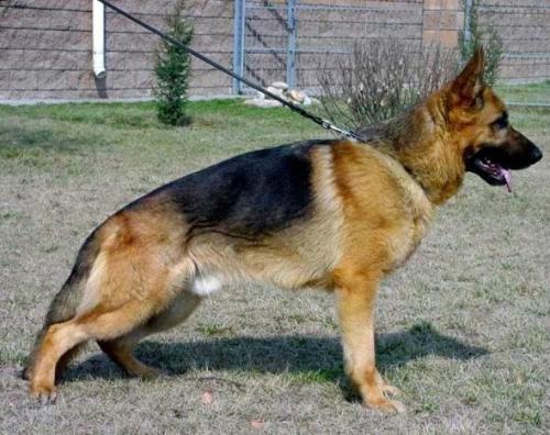 精品德国赛级德牧牧羊犬 工作德牧 自家养殖 有现货