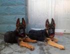 西安狗狗之家长期出售高品质 德国牧羊犬 售后无忧