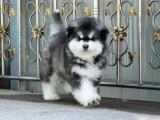 大连大型犬舍直销热销双十字阿拉斯加雪橇犬