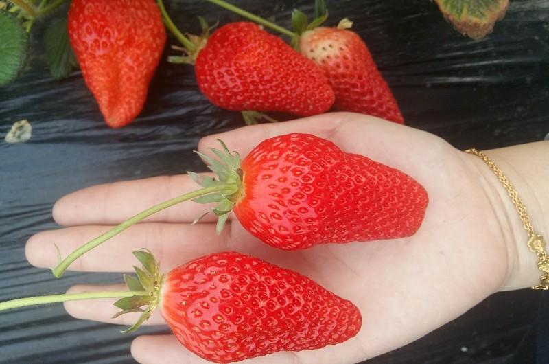 春暖花开,黄岛采摘大甜宝草莓,体验农家乐趣