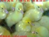 专业孵化四季苗 常年有货灰鹅苗 白鹅苗 大种鹅苗批发 厂家直供