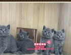 赛级英短猫蓝猫小宝宝们--《思晴名猫坊》