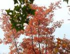 12月红叶节开始啦 还有果摘哦,冷了还可以野炊呢