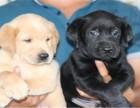 恋宝~艺犬堂 纯种拉布拉多幼犬出售 狗狗寄养 训练基地