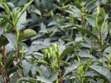 2017年正宗碧螺春新茶多少钱一斤?上市时间是什么时候?