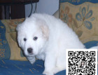 纯种大白熊,犬舍自家繁殖,可送货