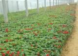 山西一串红供应,万通花卉专业供应一串红