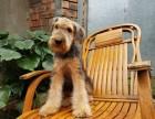 广州万能梗专业养殖中心,犬舍规模大 种犬均是冠军级名犬