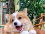 黄石优良血统 纯种拉布拉多犬 健康 活泼 已疫苗驱虫