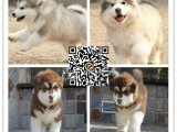 佛山阿拉斯加犬出售 哪里买到健康有保障的宠物狗 暮光狗场